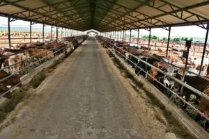 Cattle feedlots business plan